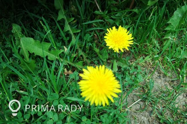 Léčíme se přírodní cestou – Smetanka lékařská (pampeliška) - stonek